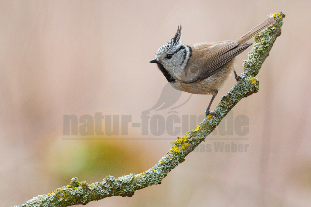 20130329160412 | Die Haubenmeise ist eine Vogelart in der Familie der Meisen. Diese Singvögel sind in Mitteleuropa ein weit verbreiteter und häufiger Brut- und Jahresvogel