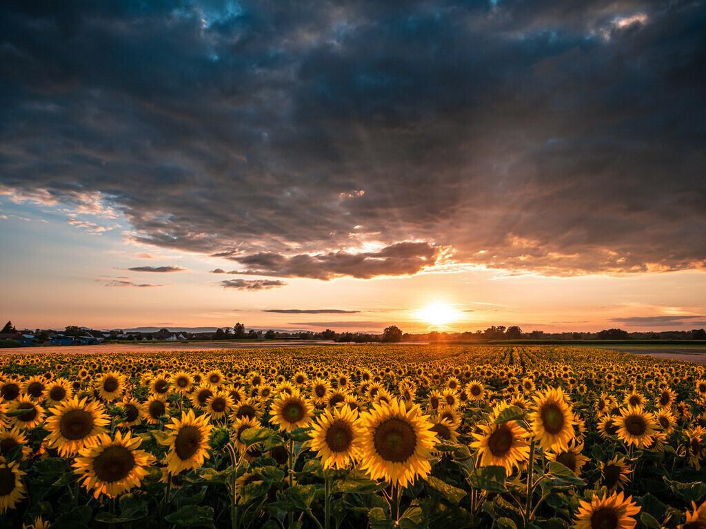 Summertime im Ried | Sonnenblumenfeld im Ried