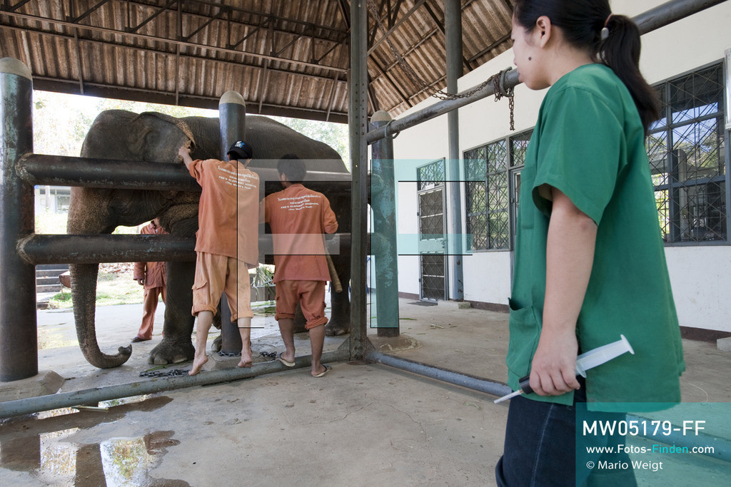 MW05179-FF   Thailand   Lampang   Reportage: Krankenhaus für Elefanten   Tierärztin Cruetong Kayan mit einer Spritze in der Krankenstation. Für die Behandlung wird Elefantenkuh Somsri von den Tierpflegern festgebunden.  ** Feindaten bitte anfragen bei Mario Weigt Photography, info@asia-stories.com **