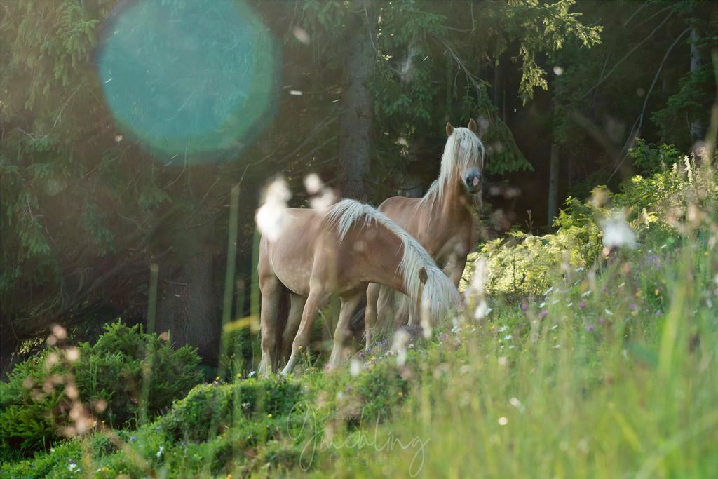 Haflingerpferde auf der Alm | Zwei Haflinger auf der Almwiese. Im Hintergrund Wald.