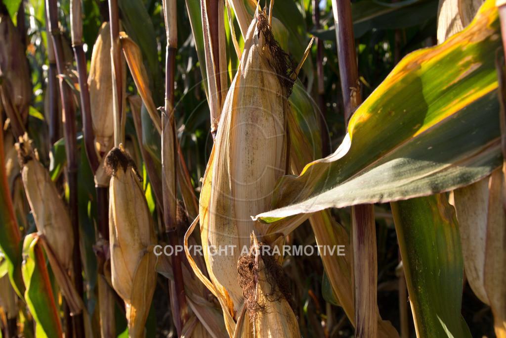 20110930-IMG_0111 | reife Maiskolben - AGRARMOTIVE Bildagentur