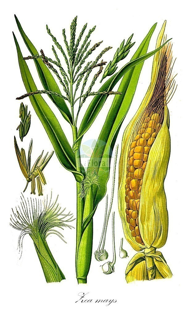 Historical drawing of Zea mays (Maize)   Historical drawing of Zea mays (Maize)