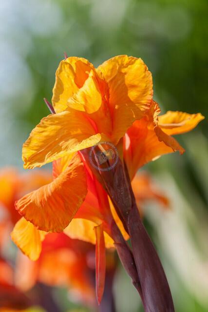 Indisches Blumenrohr Blüte | DEU, Deutschland, Filderstadt, 01.08.2009, Nahaufnahme Indisches Blumenrohr Blüte © 2009 Christoph Hermann, Bild-Kunst Urheber 707707