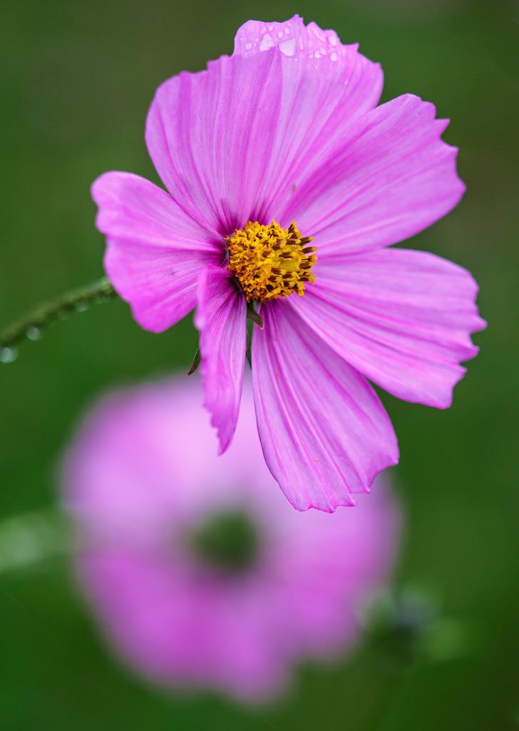 Rosa Dahlie - Dahlia | Blüten einer rosa Dahlie (Dahlia).