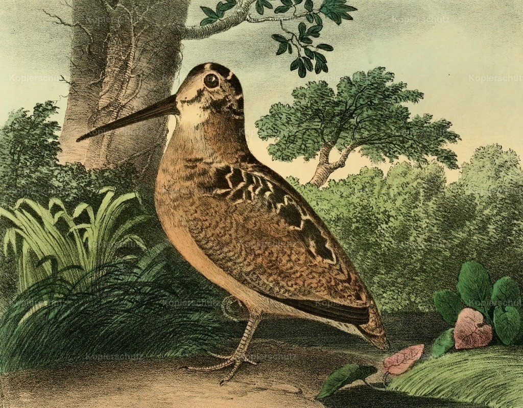 Doughty_ T. (1793-1856) - Cabinet of Natural History 1830 - Woodcock