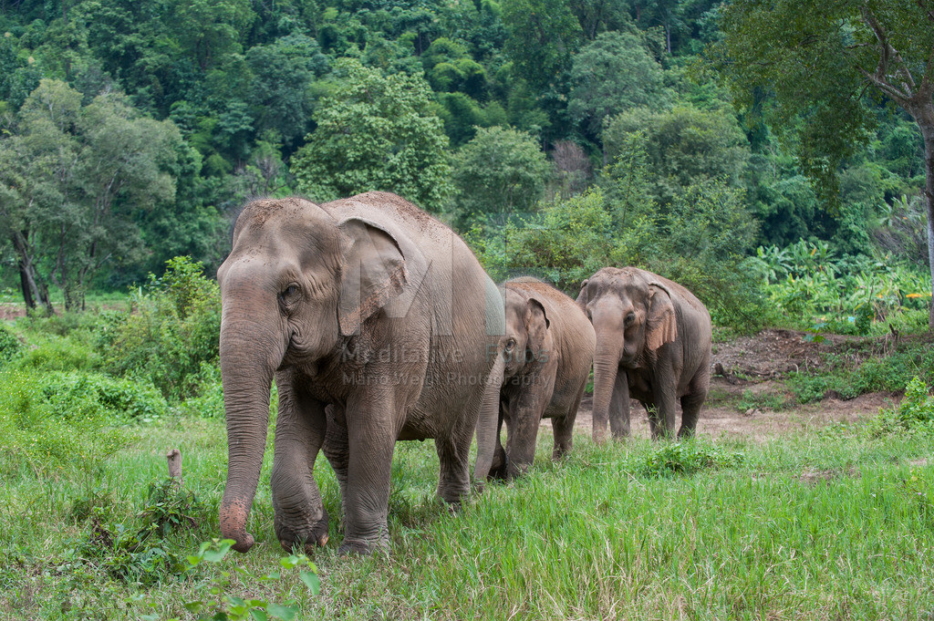 Asiatische Elefanten | Elefanten in Thailand