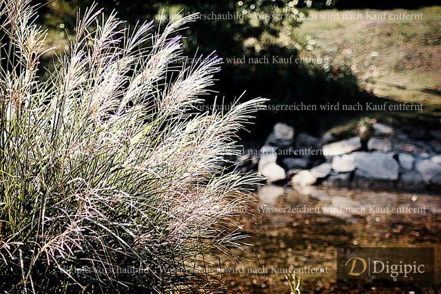 Gras und Felder 1 - Vorschaubild | Zebragras am Wasser