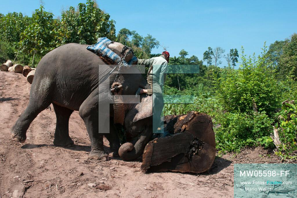 MW05598-FF   Laos   Provinz Sayaboury   Reportage: Arbeitselefanten in Laos   Arbeitselefant rollt einen Baumstamm beiseite. Der Mahut (Tierpfleger) gibt die Kommandos dafür. Lane Xang -