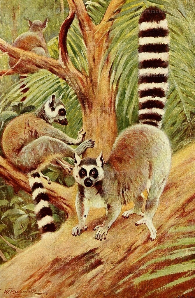 Kuhnert_ F.W. (1865-1926) - Wild Life of the World 1916 - Ring-tailed Lemur