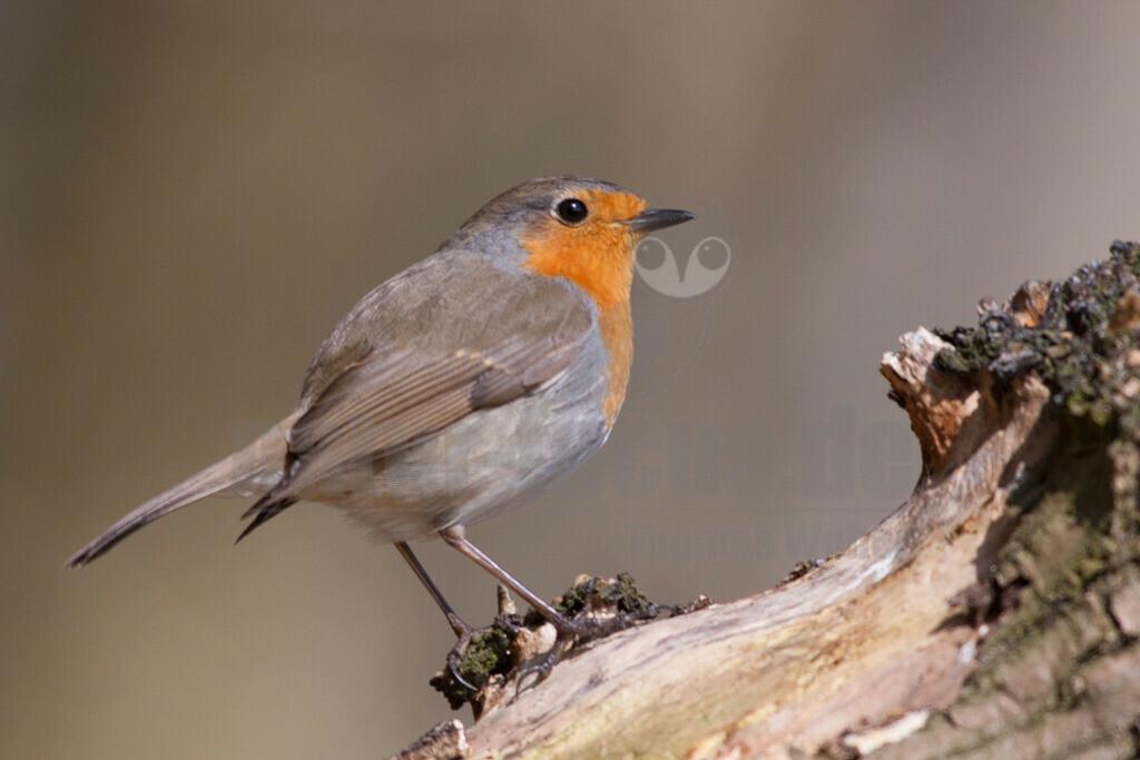 20060409_1208502202  | Das Rotkehlchen gehört in Deutschland zu den häufigsten Brutvögeln. Mit seinem putzigen Aussehen und der lieblichen Stimme ist der Zugvogel hierzulande überaus beliebt.