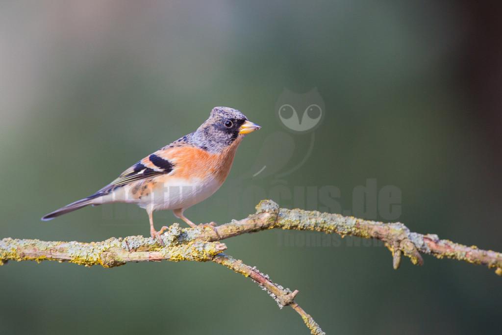 20140302_120052  | Der Bergfink ähnelt seinem nahen Verwandten, dem Buchfink, ist aber durch die orangefarbene Brust und Schulter leicht von ihm zu unterscheiden. In einem fliegenden Buchfinkentrupp verrät ihn sofort sein aufblitzender, weißer Bürzel.