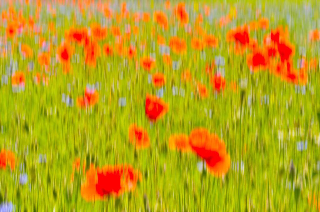 Mohnblüten im Wind | Mohnblüten im Feld