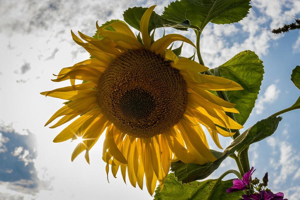 Sonnennblume mit Sonnenstern