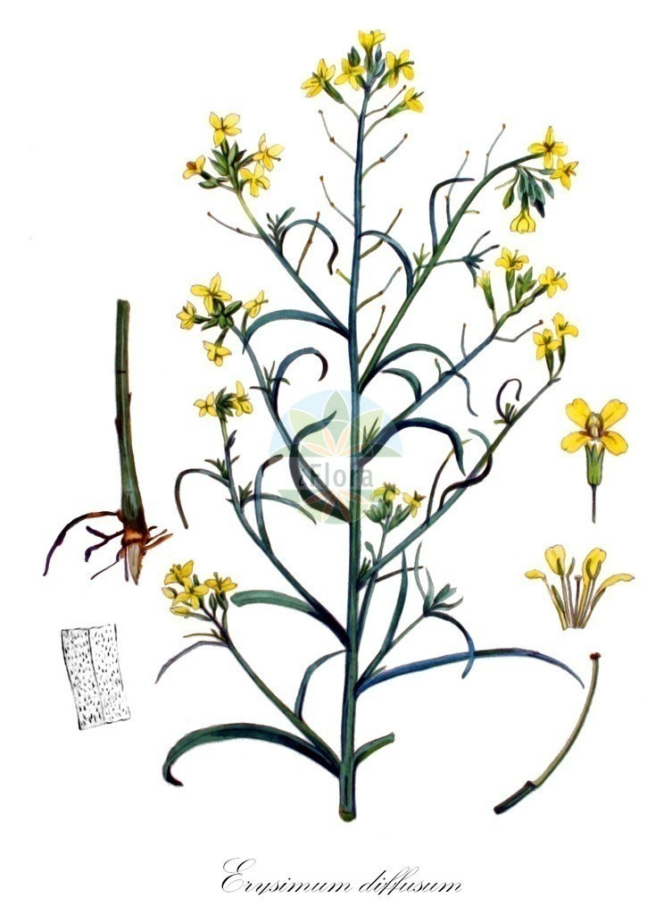 Historical drawing of Erysimum diffusum (Wallflower) | Historical drawing of Erysimum diffusum (Wallflower) showing leaf, flower, fruit, seed