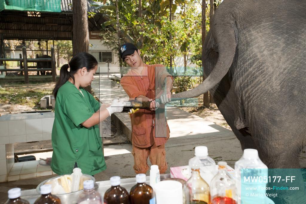 MW05177-FF | Thailand | Lampang | Reportage: Krankenhaus für Elefanten | Tierärztin Cruetong Kayan behandelt den Schwanz der Elefantenkuh Yui in der Krankenstation.  ** Feindaten bitte anfragen bei Mario Weigt Photography, info@asia-stories.com **