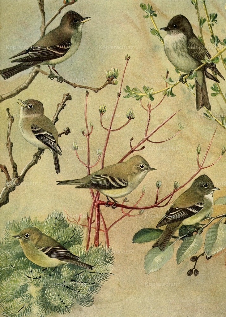Fuertes_ L.A. (1874-1927) - Birds of Massachusetts 1925 - Pewee_ Phoebe_ Flycatchers