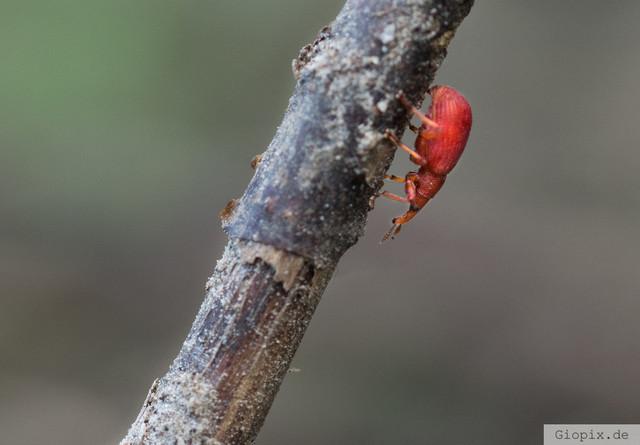 Apion frumentarium | Apion frumentarium ist ein Käfer aus der Familie der Brentidae, Unterfamilie Apioninae, die in die Verwandtschaft der Rüsselkäfer gehört.