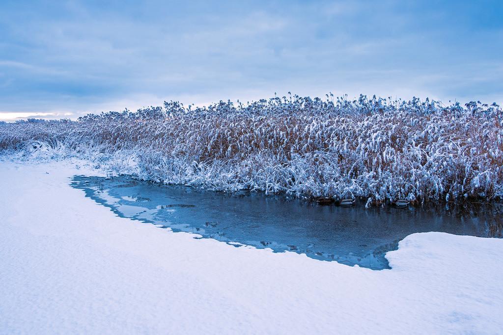 Schilf am Ufer der Warnow in der Hansestadt Rostock im Winter | Schilf am Ufer der Warnow in der Hansestadt Rostock im Winter.