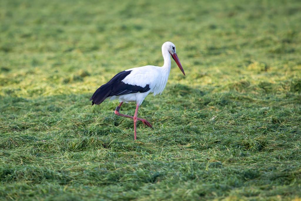 JT-171112-140 | Dingder Heider im Naturpark Hohe Mark Westmünsterland, Storch  auf einer Weide,