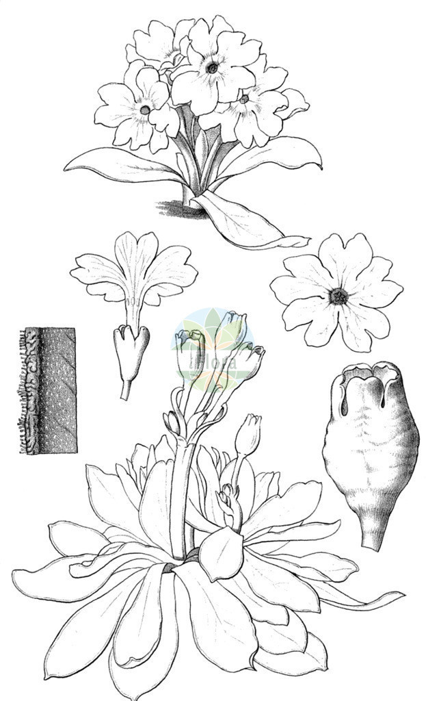 Primula wulfeniana   Historische Abbildung von Primula wulfeniana. Das Bild zeigt Blatt, Bluete, Frucht und Same. ---- Historical Drawing of Primula wulfeniana.The image is showing leaf, flower, fruit and seed.