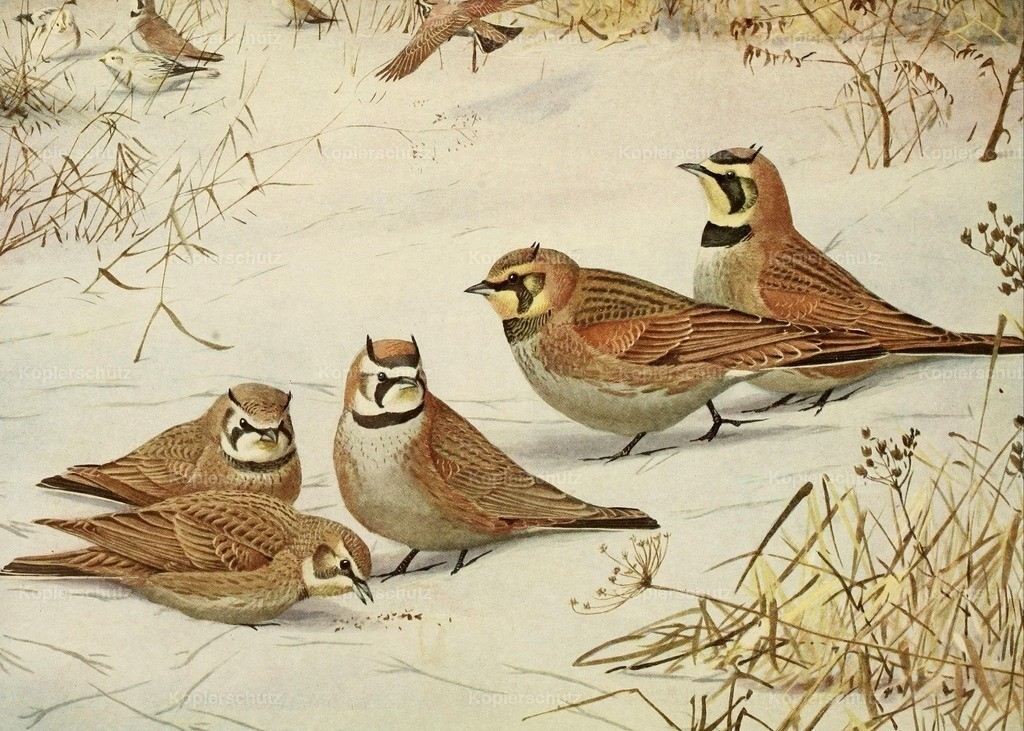 Fuertes_ L.A. (1874-1927) - Birds of Massachusetts 1925 - Larks