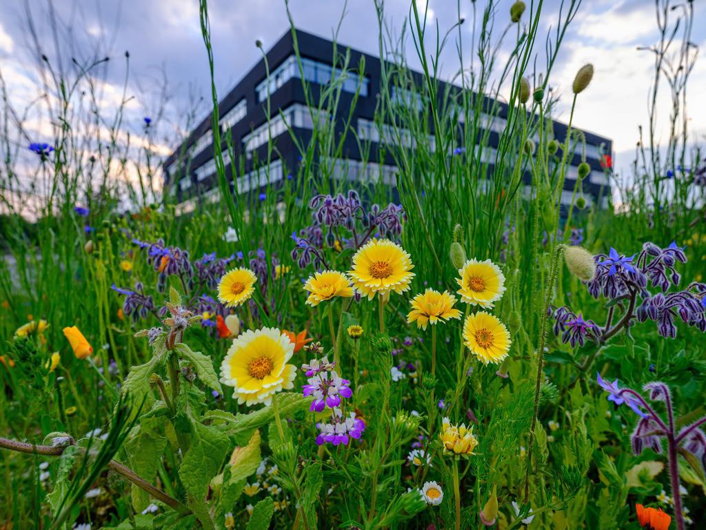 Frühlingsblumen am Campus Nord | Frühlingsblumen am Campus Nord der Universität Bielefeld. Im Hintergrund das CITEC-Gebäude.