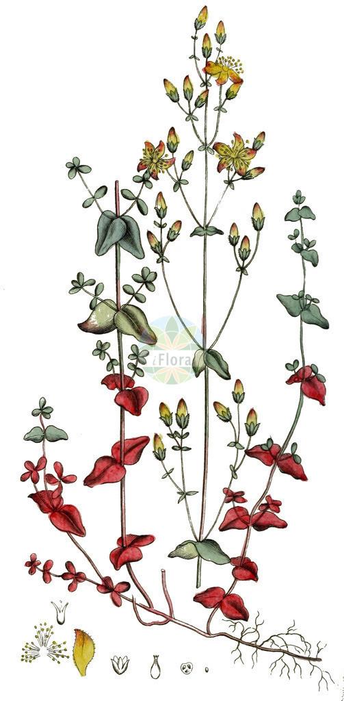 Hypericum pulchrum (Schoenes Johanniskraut - Slender St John's-wo   Historische Abbildung von Hypericum pulchrum (Schoenes Johanniskraut - Slender St John's-wort). Das Bild zeigt Blatt, Bluete, Frucht und Same. ---- Historical Drawing of Hypericum pulchrum (Schoenes Johanniskraut - Slender St John's-wort).The image is showing leaf, flower, fruit an