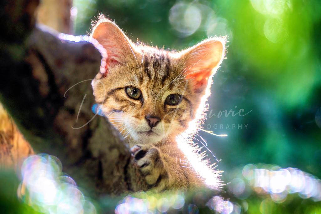 Wildkatze | Wildkatzenbaby