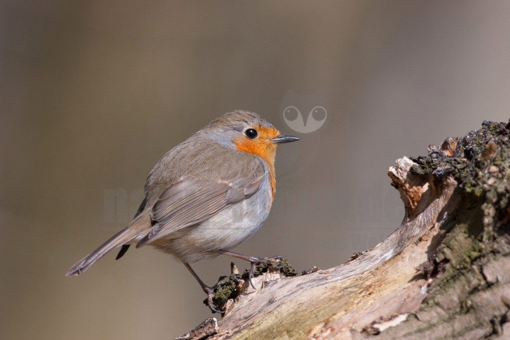 20060409_1209372206  | Das Rotkehlchen gehört in Deutschland zu den häufigsten Brutvögeln. Mit seinem putzigen Aussehen und der lieblichen Stimme ist der Zugvogel hierzulande überaus beliebt.