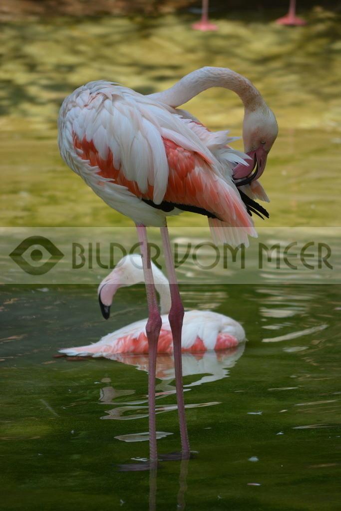 Flamingo Bilder   Flamingo Bilder Italien