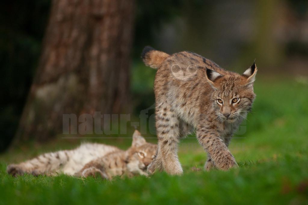 20081010162253 | Die Luchse sind eine Gattung der Familie der Katzen. Alle vier heute lebenden Arten kommen auf der Nordhalbkugel vor: Der Eurasische Luchs ist in weiten Teilen Europas und Asiens verbreitet;