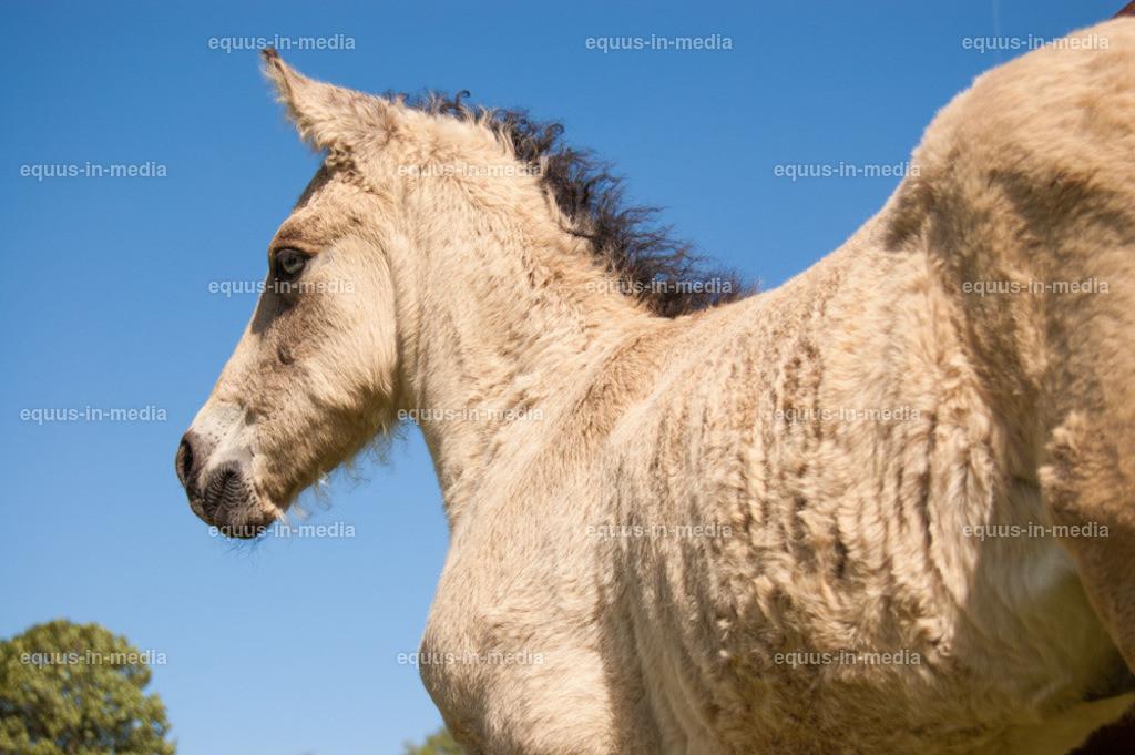 20100616-DSC_8045 | Curly Horse Fohlen auf der Weide