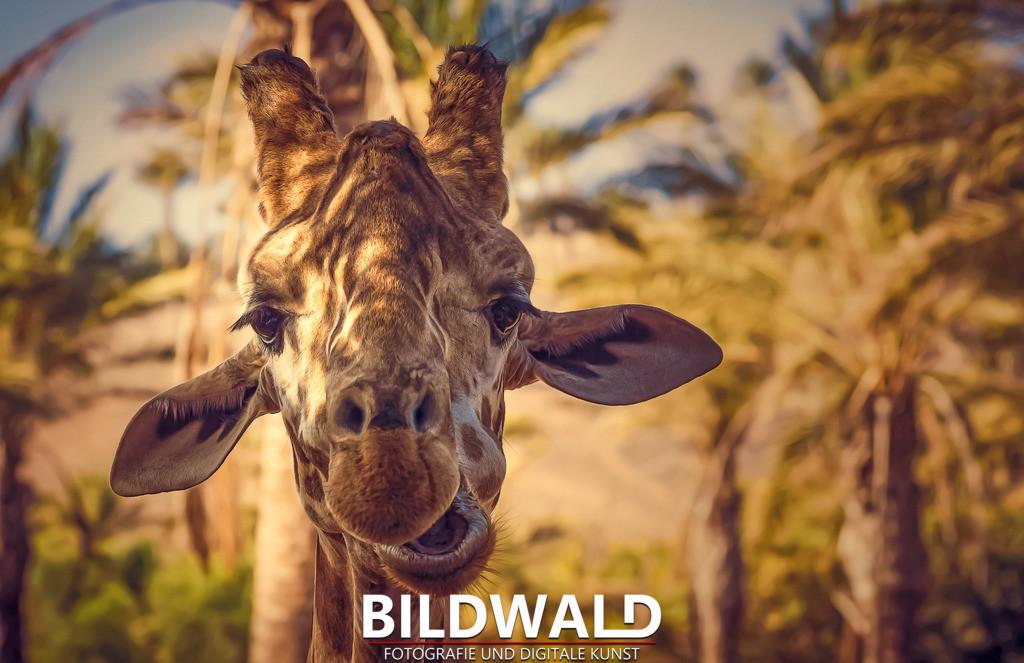 Giraffe   @oasisparkfuerteventura it´s allways nice to be here!