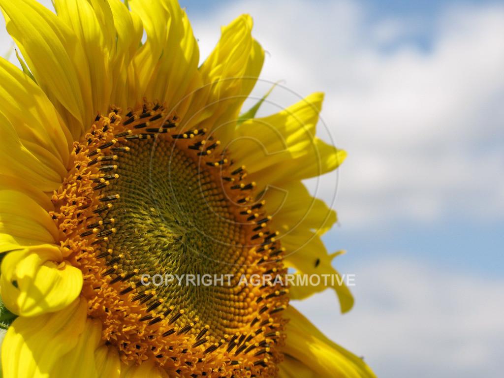 20090711-IMG_4332 | blühende Sonnenblumen im Sommer - AGRARMOTIVE Bilder aus der Landwirtschaft