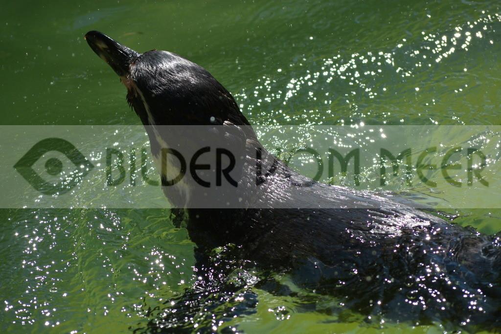 Bilder Pinguine | Foto Pinguin Italien