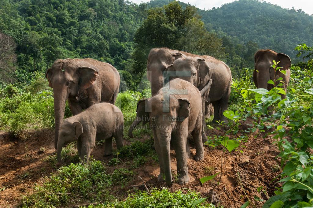 Elefantenherde | Elefanten in Thailand