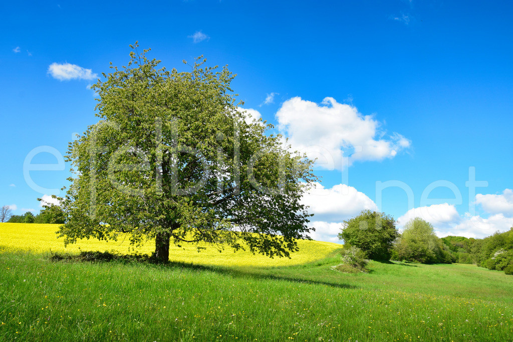 Frühling in der Eifel   Rapsfelder, Bäume, Hügel & Täler .... fotografiert bei Bettenfeld in der Vulkaneifel
