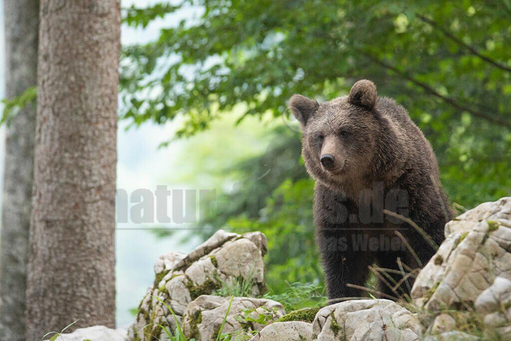 663A1206 | Der Braunbär gehört zu den Säugetieren aus der Familie der Bären. In Eurasien und Nordamerika kommt er in mehreren Unterarten vor, darunter Europäischer Braunbär, Grizzlybär und Kodiakbär. Als eines der größten an Land lebenden Raubtiere der Erde spielt er in zahlreichen Mythen und Sagen eine wichtige Rolle.