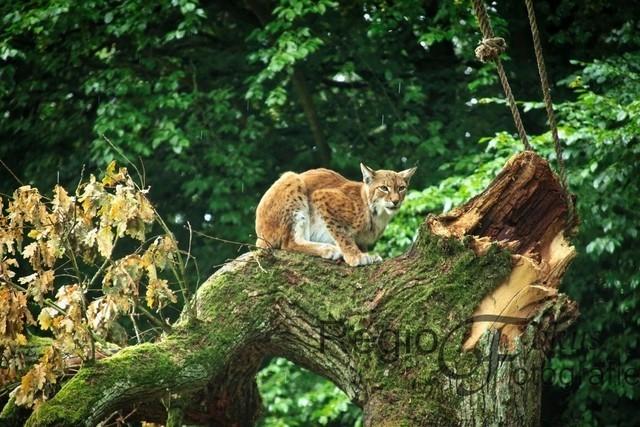 Luchs | Luchs auf einem Baumstamm im Tierpark Sababurg