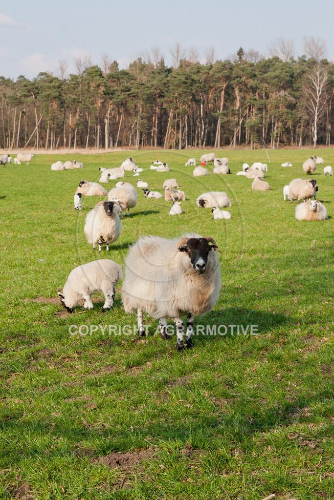 250307-164738 | Schafherde auf der Weide - AGRARBILDER
