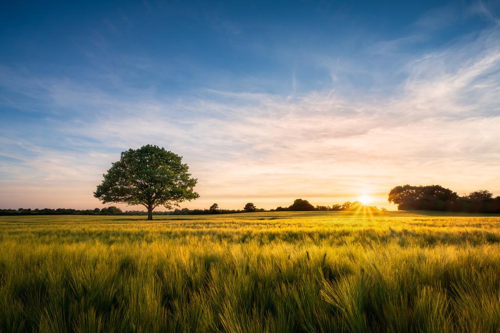 Oak and Barley - Re-Edit | Stattliche Eiche in einem Gerstenfeld