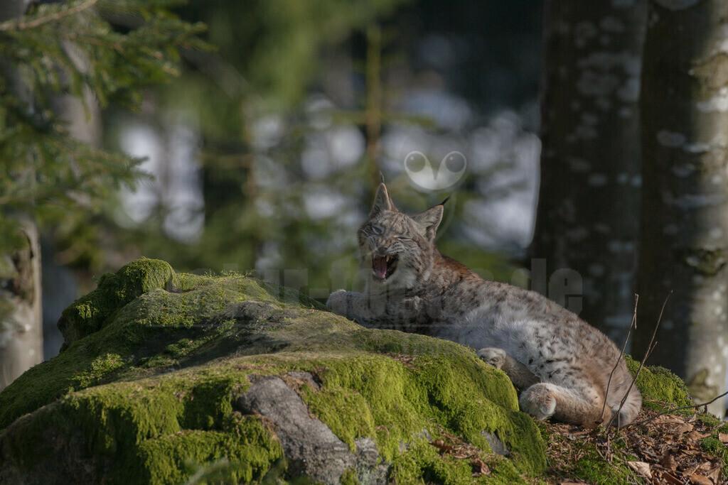 20080211_15285714171 | Die Luchse sind eine Gattung in der Familie der Katzen. Alle vier heute lebenden Arten kommen auf der Nordhalbkugel vor: Der Eurasische Luchs ist in weiten Teilen Europas und Asiens verbreitet.