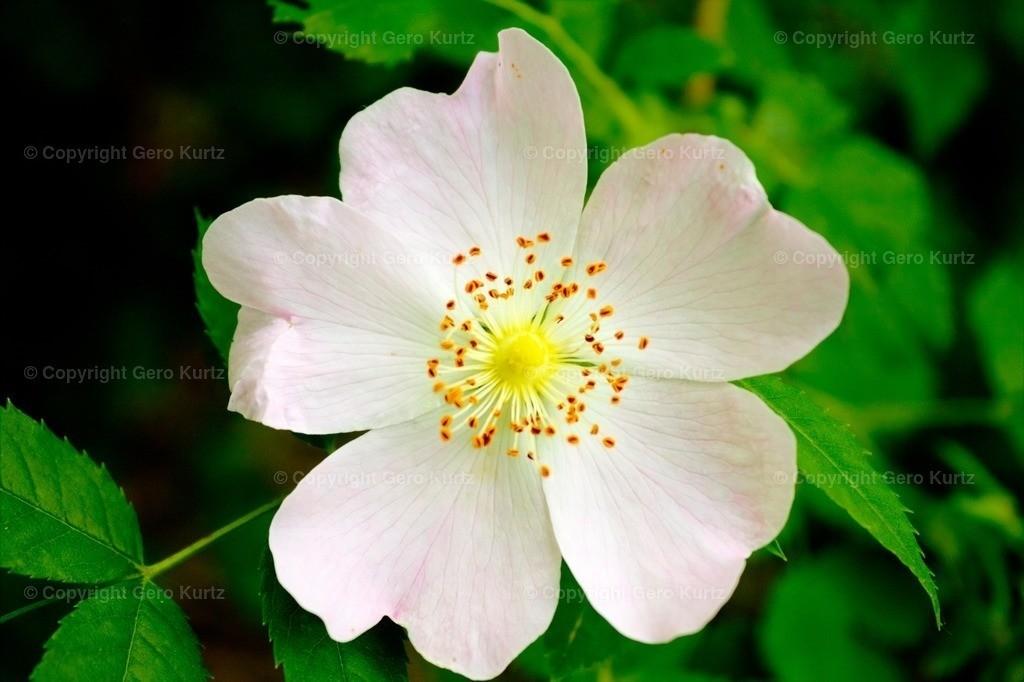 Flower of a wild rose - Blüte einer Wildrose