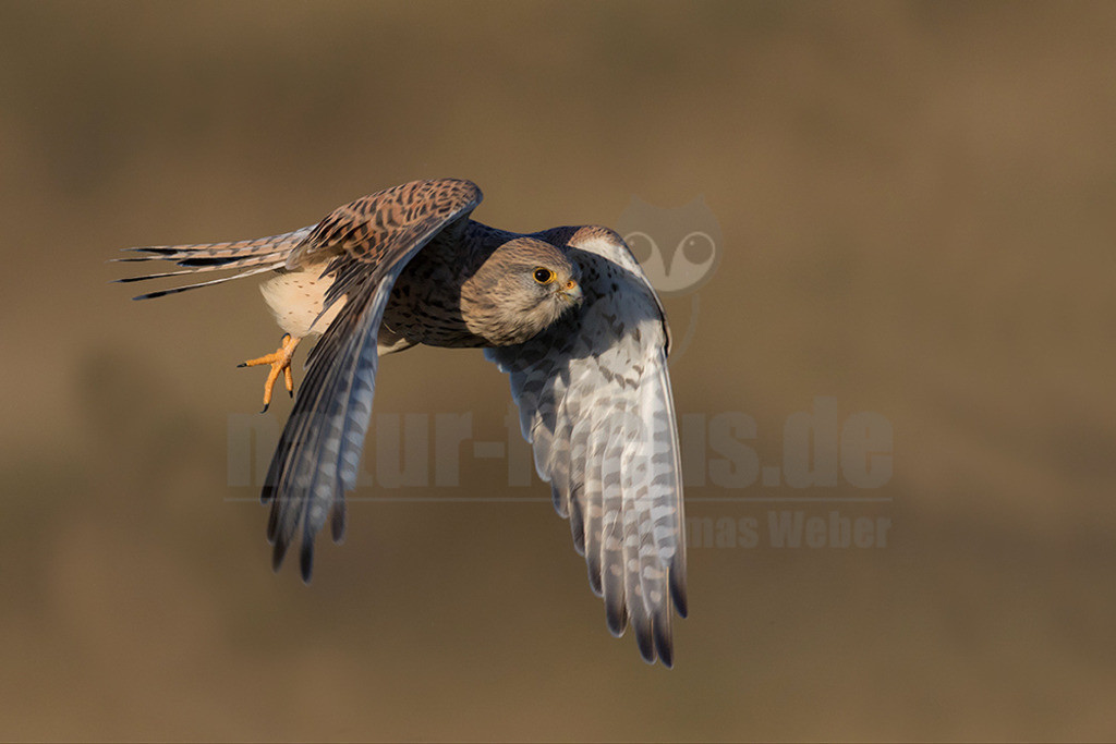 20181021-IMG_7837   Der Turmfalke (Falco tinnunculus) ist der häufigste Falke in Mitteleuropa. Vielen ist der Turmfalke vertraut, da er sich auch Städte als Lebensraum erobert hat und oft beim Rüttelflug zu beobachten ist.