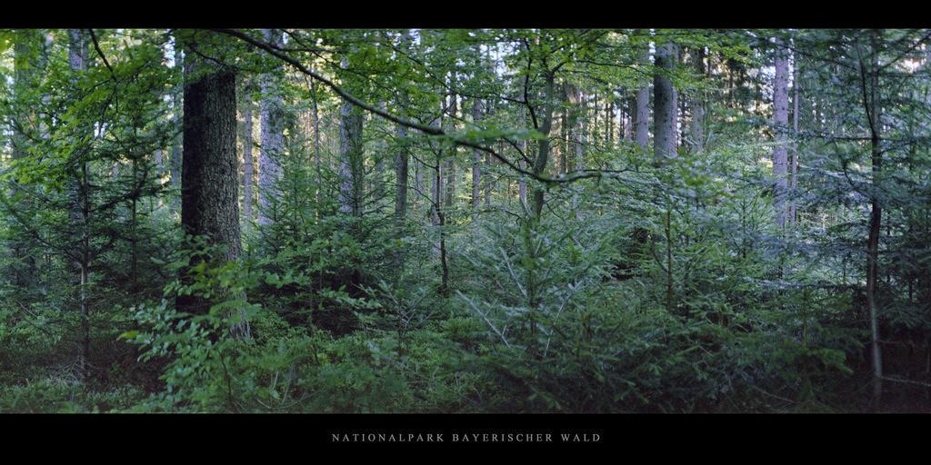 Nationalpark Bayerischer Wald | Bergfichtenwald im Nationalpark und Mittelgebirge Bayerischer Wald