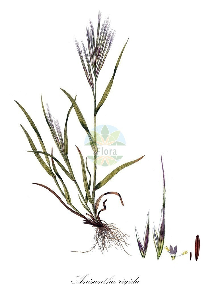 Historical drawing of Anisantha rigida   Historical drawing of Anisantha rigida showing leaf, flower, fruit, seed