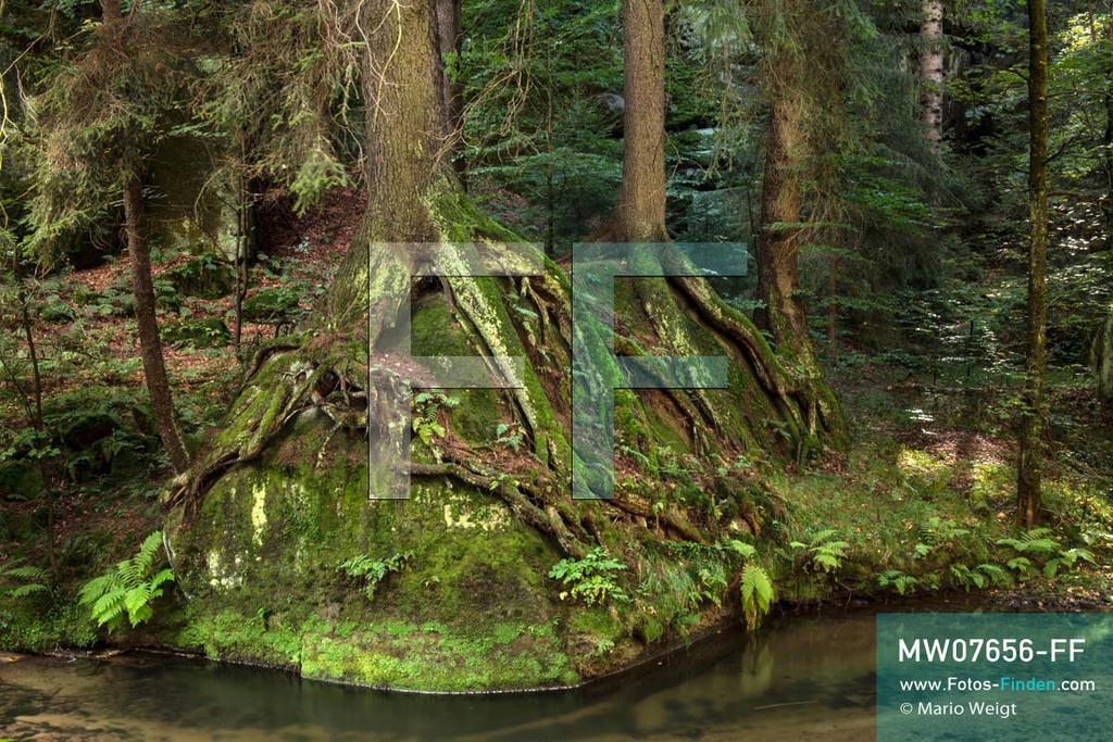 MW07656-FF   Deutschland   Sachsen   Sächsische Schweiz   Moosbewachsene Baumwurzeln auf Steinen am Ufer der Kirnitzsch. Der kleine Fluss schlängelt sich durch das gleichnamige Tal im Elbsandsteingebirge.  ** Feindaten bitte anfragen bei Mario Weigt Photography, info@asia-stories.com **