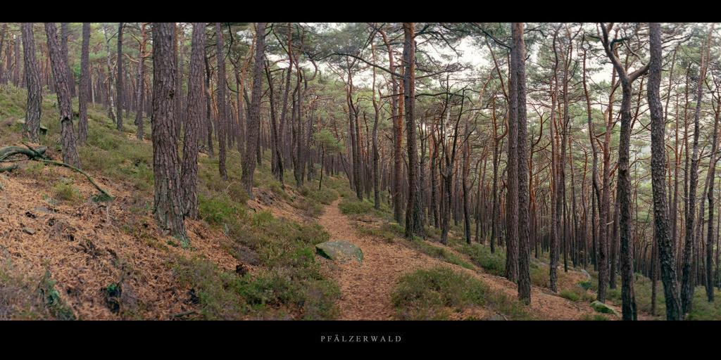 Pfälzerwald | Kiefernwald mit Wanderweg im Pfälzerwald