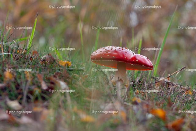 Fliegenpilz | roter Fliegenpilz im Gras bei Tageslicht vor einem hellen Hintergrund mit Fokus auf dem Pilz