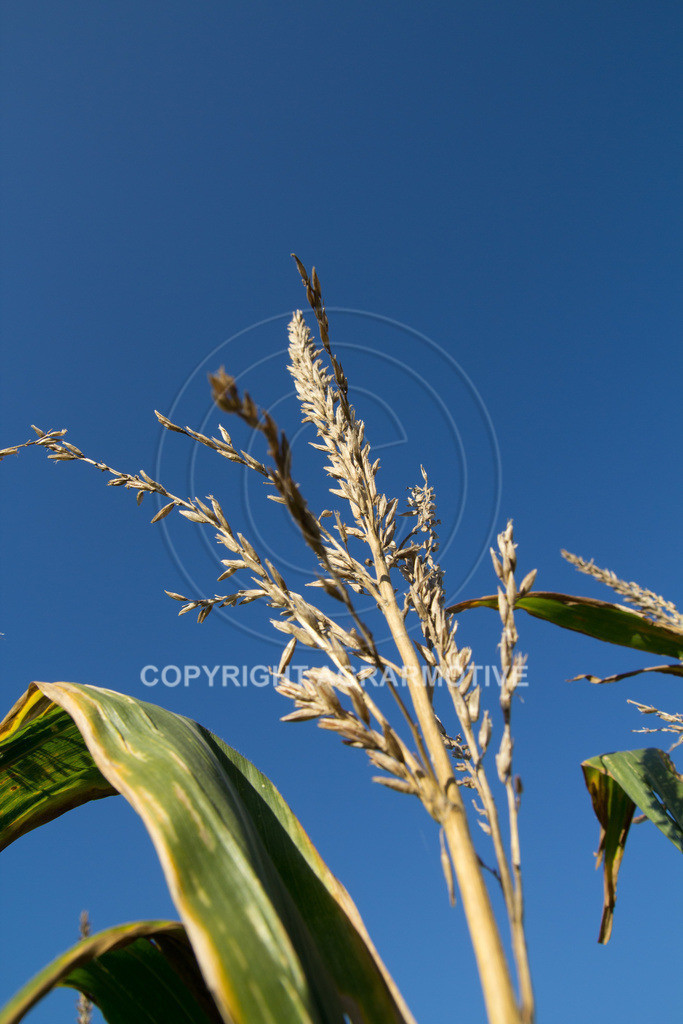 20110930-IMG_0110 | Maispflanze - AGRARMOTIVE Bildagentur